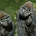 Publication of the gorilla genome opens window onto human evolution
